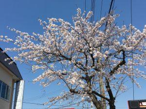 八戸 桜 | 八戸の新築 グリーンホームズ